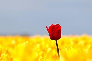 Rode tulp steekt boven gele tulpen uit van