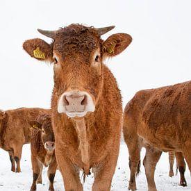 Koeien in besneeuwd weiland van Afke van den Hazel