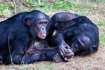 Bonobo's vinden elkaar lief van Arnold van der Horst