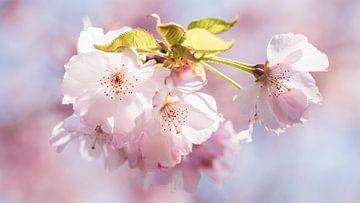 Makro Kirschblüte mit Bokeh und Vignette von Dieter Walther