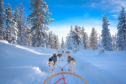 Poolhonden trekken de slede in Finland