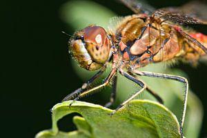 Steinroter Heidelibel auf Eichenblatt