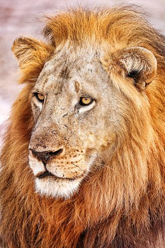 Male lion, Africa wildlife van W. Woyke