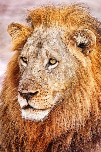 Male lion, Africa wildlife van