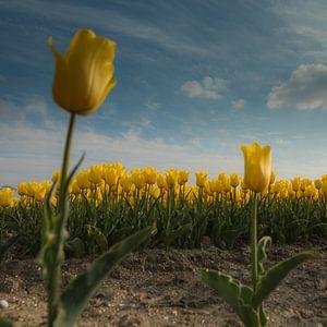 Yellow Tulips 2 van