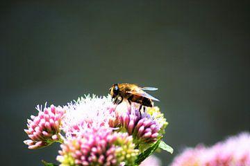 Bij op bloem verzameld honing van David van Coowijk