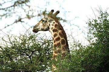 Giraf von Dirkje Sol
