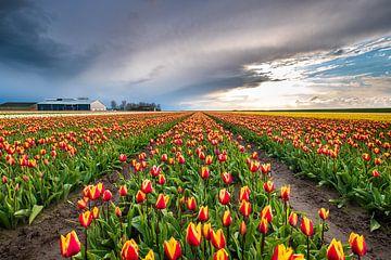 Tulpenveld bij zonsondergang in Groningen van Evert Jan Luchies