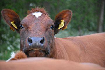 Koe van Maurice Kruk
