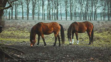 Wildpferde bei Planken wambuis, Ede Gelderland. von AciPhotography