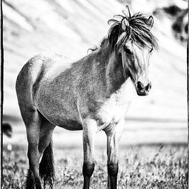 Islandpferd, Fohlen von Irma van der Wiel