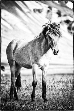 Islandpferd, Fohlen von Islandpferde  | IJslandse paarden