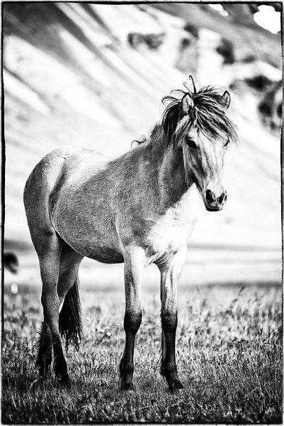 Folald van Islandpferde  | IJslandse paarden | Icelandic horses