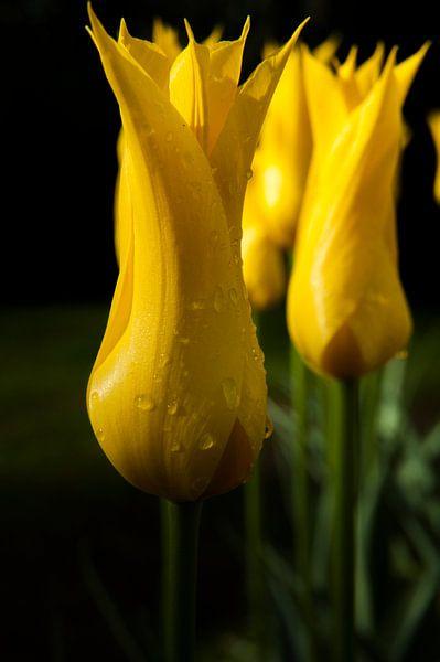 Vlammende Tulp van Ernst van Voorst
