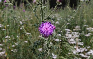 Violette Blume von Geert Keularts