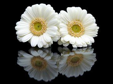 Zwei weiße Gerbera Blumen mit Reflexion auf schwarzem Hintergrund von Ben Schonewille