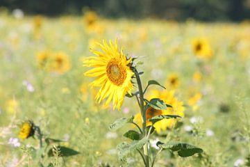 Sunflower in oktober_2 van Job Geijsen