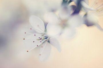 Blüten von Kristof Ven