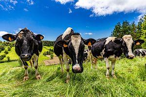 Hollandse koeien op São Miguel (Azoren)
