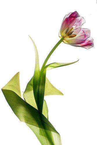 tulipe transparent