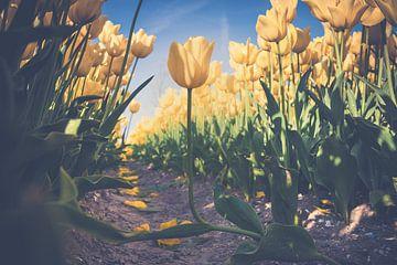 Gele tulpen  in een bloembollen veld van Fotografiecor .nl