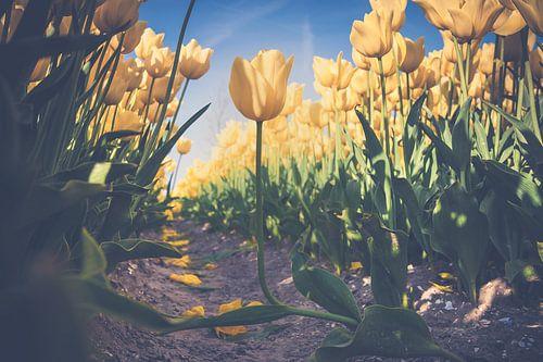 Gele tulpen  in een bloembollen veld