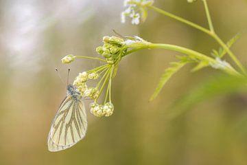 Klein geaderd witje (Pieris napi) van Moetwil en van Dijk - Fotografie