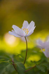 De bosanemoon (Anemone nemorosa) van Lisa Antoinette Photography