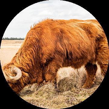 Schotse hooglander grazend van hoog gras van MICHEL WETTSTEIN