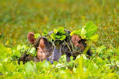 Nijlpaard playing hide and seek