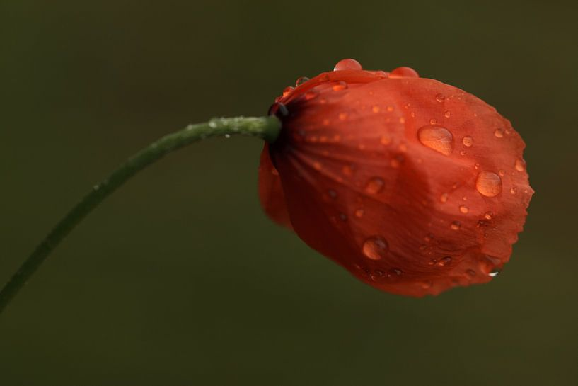 Crying poppy sur Hans Koster