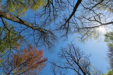 Bos met blauwe lucht bomen in diverse kleuren en zon in het voorjaar van Tonko Oosterink