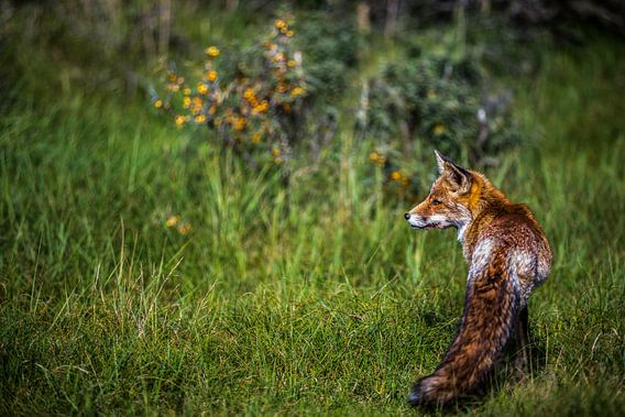 vos in zijn natuurlijke omgeving