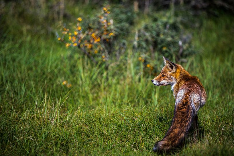 vos in zijn natuurlijke omgeving van Robin Smit
