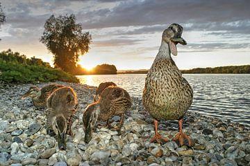 Entenmutter mit Nachwuchs
