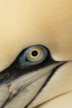 Auge des Jan Van Gent von Lynlabiephotography
