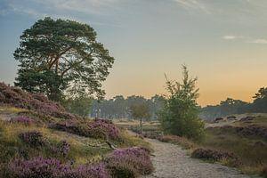 Blühendes Heidekraut - Groot Heidestein, Zeist von Rossum-Fotografie
