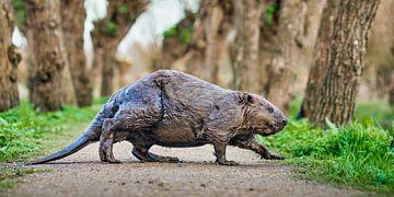Un castor traverse un sentier sur Frans Lemmens