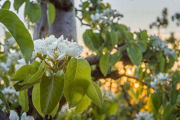Blüte im Obstgarten von Rossum-Fotografie