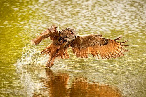 Een gedetailleerde  Oehoe,  hij vliegt met uitgespreide vleugels  boven een groen meer.   Veel water