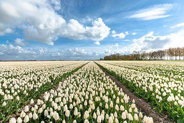 Bollenvelden in de Flevo Polder van Fotografiecor .nl