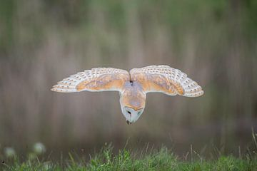 Schleiereule im Flug. von Larissa Rand