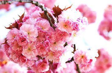 Kirschblüten von Roswitha Lorz