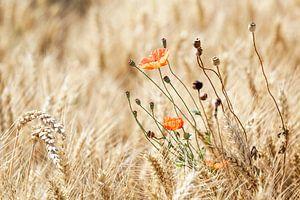 Wilde Klaproos in een graanveld op de Gulpenerberg in Zuid-Limburg