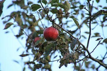 Grote rode appel aan de boom van Kristian Oosterveen