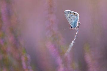 In de hei / blue butterfly in purple heather van Elles Rijsdijk