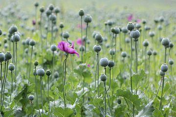 Die letzten Mohnblumen von Elke Wolfbeisser
