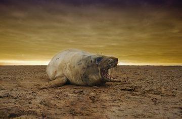 Jonge Grijze Zeehond op het strand tijdens zonsondergang van Jeroen Stel