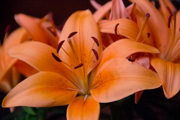 Orangenlilie (Lilium Corallo Supra) von whmpictures .com