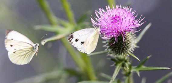 Butterfly on thistle van Mark Zanderink